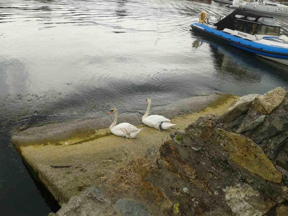 Courtown Swans