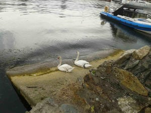 Just swanning around Courtown
