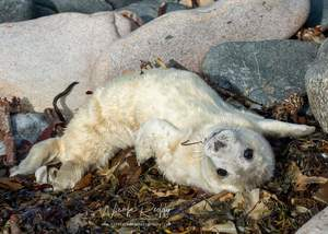 Baby White Seal Wexford